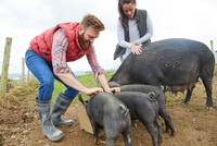 Couple on farm feeding pig and piglets