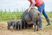 Man on farm feeding pig and piglets 11015297915  写真素材・ストックフォト・画像・イラスト素材 アマナイメージズ