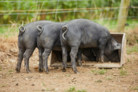 Rear view of piglets on farm feeding from trough