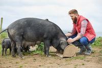 Man on farm feeding pig and piglets 11015297918  写真素材・ストックフォト・画像・イラスト素材 アマナイメージズ