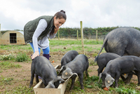 Woman on farm feeding pig and piglets