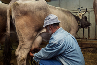 Senior male dairy farmer milking cow in shed, Sattelbergalm, Tyrol, Austria
