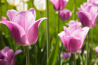 Close up of mauve and white Tulipa - Tulip flowers in spring