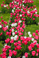 Pink and white Tulipa - Tulip bed on green grass lawn in spring