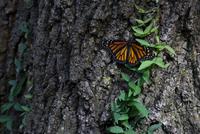 Monarch butterfly on tree trunk 11015300045| 写真素材・ストックフォト・画像・イラスト素材|アマナイメージズ