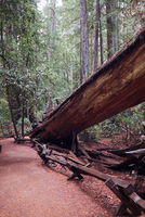 Fallen redwood in Armstrong Redwoods State Natural Reserve, Sonoma County, California, USA