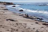 Elephant seals lying on beach, San Simeon, California, USA