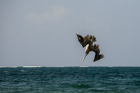 Brown pelican (Pelecanus occidentalis) diving into sea,  Puerto Morelos, Mexico
