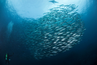 School of pacific barracuda (Sphryaena argentea) swimming above diver with sea lion at surface, Equador 11015300648| 写真素材・ストックフォト・画像・イラスト素材|アマナイメージズ