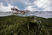 American croc (Crocodylus acutus) at sea surface, Chinchorro Banks, Mexico