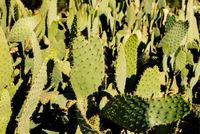 Close up of cacti, Malibu Canyon, California, USA