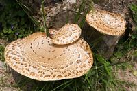 Wild mushrooms growing on tree stump 11015301039| 写真素材・ストックフォト・画像・イラスト素材|アマナイメージズ
