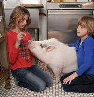 Two young girls in kitchen, feeding pet pig 11015301847| 写真素材・ストックフォト・画像・イラスト素材|アマナイメージズ