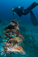 Diver collects invasive lionfish from local reef 11015302251| 写真素材・ストックフォト・画像・イラスト素材|アマナイメージズ
