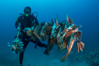 Diver collects invasive lionfish from local reef 11015302252| 写真素材・ストックフォト・画像・イラスト素材|アマナイメージズ