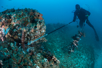Diver collects invasive lionfish from local reef 11015302254| 写真素材・ストックフォト・画像・イラスト素材|アマナイメージズ