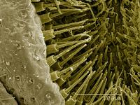 Spinerettes of orb-weaving spider