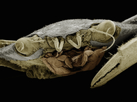 Frontal view of blue crab