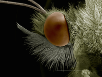 Lateral view of Pieris sp. butterfly head