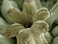 Flower of Canadian Ginger plant