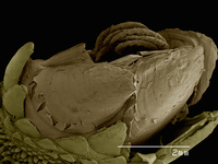 Gooseneck barnacle Pedunculata: Pollicipededae poss. Pollicipes sp