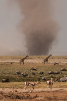 Dust tornado close to water hole where zebras, giraffes and gazelles drink, Masai Mara, Kenya 11015302501| 写真素材・ストックフォト・画像・イラスト素材|アマナイメージズ