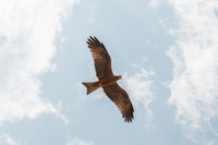 Hawk flying looking for prey, Masai Mara, Kenya 11015302506| 写真素材・ストックフォト・画像・イラスト素材|アマナイメージズ