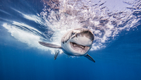 Great White shark entering water after attacking bait, underwater view 11015304359| 写真素材・ストックフォト・画像・イラスト素材|アマナイメージズ