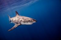 Great White shark, underwater view