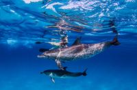 Atlantic Spotted dolphins, underwater view 11015304373| 写真素材・ストックフォト・画像・イラスト素材|アマナイメージズ