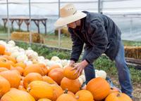 Young man stacking pumpkins, Missoula, Montana, USA