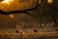 Group of adult and juvenile baboons (Papio cynocephalus ursinas), backlit at sunset,  Mana Pools National Park, Zimbabwe 11015304959| 写真素材・ストックフォト・画像・イラスト素材|アマナイメージズ