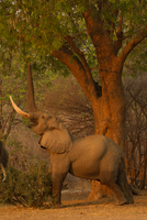 Bull elephant (Loxodonta africana) reaching to eat tree leaves, Mana Pools National Park, Zimbabwe 11015304961| 写真素材・ストックフォト・画像・イラスト素材|アマナイメージズ