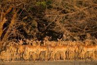 Watchful herd of impala (Aepyceros melampus),  Mana Pools National Park, Zimbabwe 11015304964| 写真素材・ストックフォト・画像・イラスト素材|アマナイメージズ