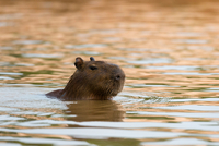 Capybara (Hydrochaeris hydrochaeris) swimming in Cuiaba river, Pantanal, Mato Grosso, Brazil 11015304982| 写真素材・ストックフォト・画像・イラスト素材|アマナイメージズ