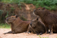 Three capybara (Hydrochaeris hydrochaeris) on riverbank, Pantanal, Mato Grosso, Brazil 11015304988| 写真素材・ストックフォト・画像・イラスト素材|アマナイメージズ