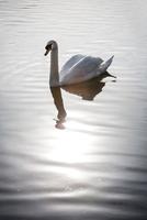 Swan on calm water 11015305055| 写真素材・ストックフォト・画像・イラスト素材|アマナイメージズ