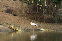 Yellow-billed stork (Mycteria ibis) encounter with crocodiles (Crocodylus niloticus) at edge of water