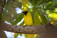 Village weaver (Ploceus Cucullatus), close-up, Mauritius 11015305159| 写真素材・ストックフォト・画像・イラスト素材|アマナイメージズ