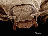 Scanning electron micrograph of a riffle beetle (Coleoptera: Elmidae)