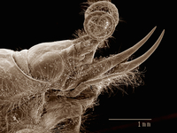 Scanning electron micrograph of the head of an mayfly nymph (Ephemeroptera: Ephemeridae) 11015305242| 写真素材・ストックフォト・画像・イラスト素材|アマナイメージズ
