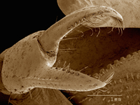 Scanning electron micrograph of the claw of a fiddler crab 11015305245| 写真素材・ストックフォト・画像・イラスト素材|アマナイメージズ