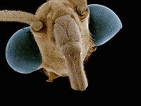 Scanning electron micrograph of the head of water strider (Hemiptera: Gerridae) 11015305252  写真素材・ストックフォト・画像・イラスト素材 アマナイメージズ