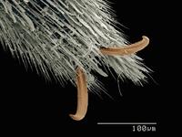 Scanning electron micrograph of the tarsus of water strider (Hemiptera: Gerridae) 11015305253  写真素材・ストックフォト・画像・イラスト素材 アマナイメージズ