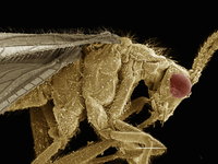 Scanning electron micrograph of a brown lacewing (Neuroptera: Hemerobiidae)