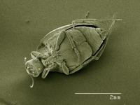 Scanning electron micrograph of a crawling water beetle (Coleoptera: Halipidae)