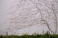 Bare vine plant spreading on grey wall