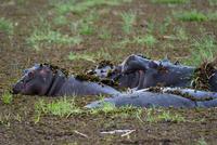 Hippopotamuses (Hippopotamus amphibius) wallowing in deep mud, Khwai concession, Okavango delta, Botswana