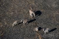 Aerial view of Burchell's zebra (Equus burchellii) herd, Okavango delta, Botswana