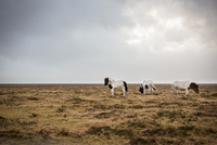 Icelandic horses, Hvolfsvollur, Iceland 11015307636| 写真素材・ストックフォト・画像・イラスト素材|アマナイメージズ
